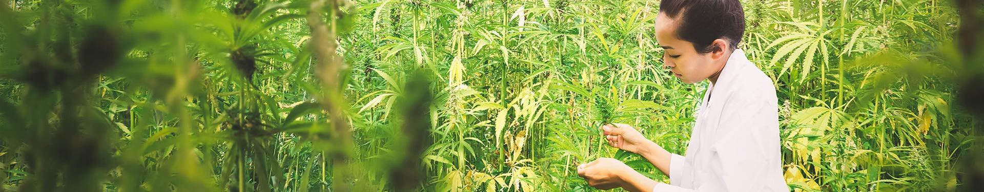 Cannabis Feld - FAQs