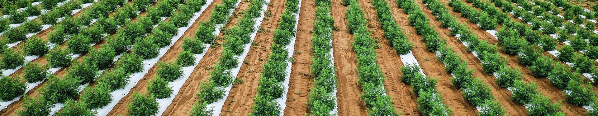 Hemp Farming Field - Contact