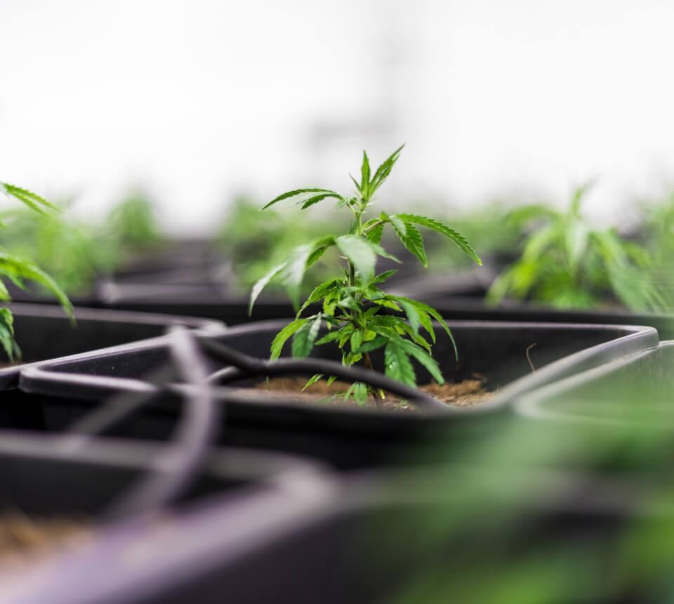 marijuana plant - About