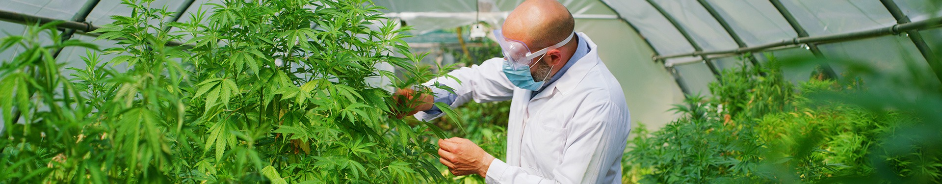 scientist with mask glasses and gloves checking hemp plants in a greenhouse used used for herbal alternative medicines and cbd oil production. - Medical Products
